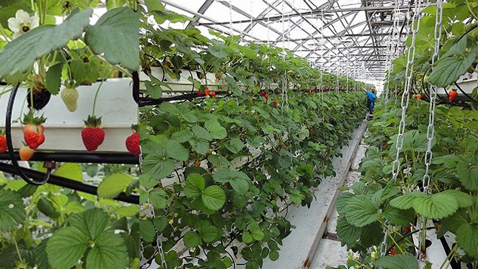 Выращивание клубники под днат