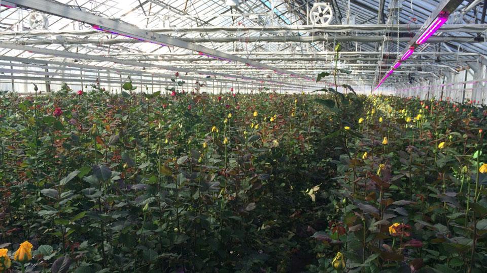 Освещение теплицы для выращивания роз 65